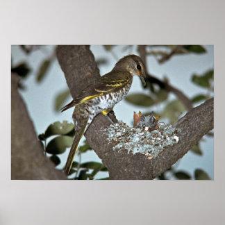 Black Cuckoo Shrike Posters