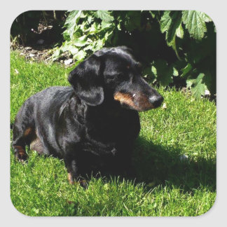 Black dachshund square sticker