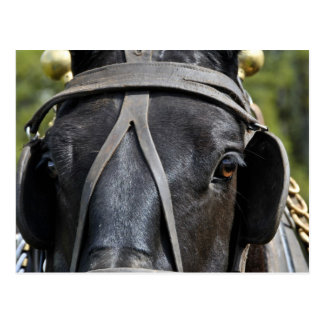 Black Draft Horse Postcard