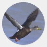 Black Duck Round Stickers