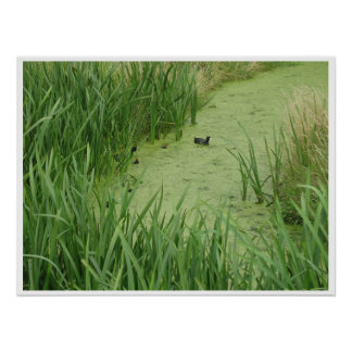 Black Duck with Baby Ducks Photo Poster