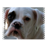 Black Eyed Boxer Dog Postcard