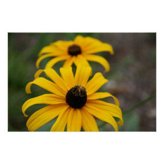 Black-Eyed Susan and Bee Poster