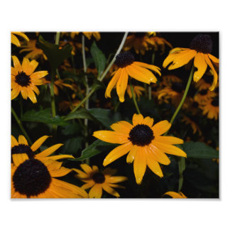 BLACK-EYED SUSAN PATCH. AFTER THE RAIN. PHOTO