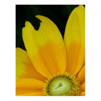 """Black-eyed Susan, Rudbeckia hirta """"Prairie Sun"""" Postcard"""