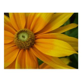 """Black-eyed Susan's, Rudbeckia hirta """"Prairie Sun"""" Postcard"""