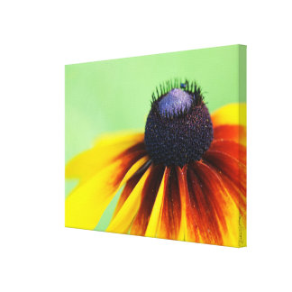 Black Eyed Susan Wildflower Photography Canvas Canvas Print