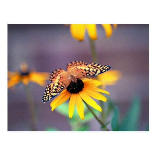 black-eyed susan with butterfly 3 postcard