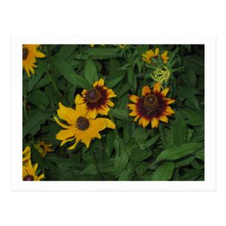 Black Eyed Susans at Longwood Gardens, PA Postcard
