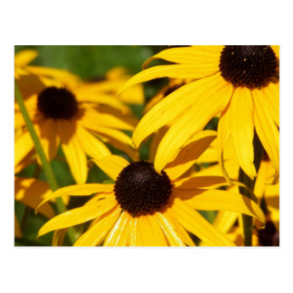Black-Eyed Susans In Repose Postcard