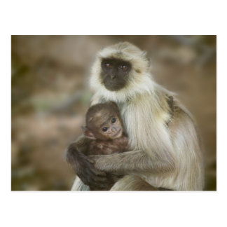 Black-face Langurs, mother with baby, in Postcard