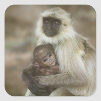 Black-face Langurs, mother with baby, in Square Sticker