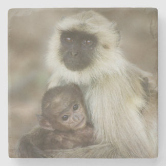 Black-face Langurs, mother with baby, in Stone Coaster