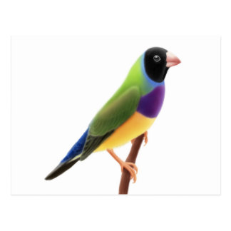 Black Faced Gouldian Finch Postcard