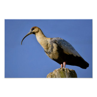 Black-faced Ibis on wood post Poster