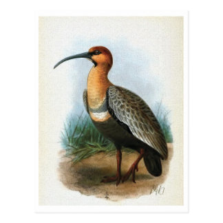 Black-faced Ibis Vintage Illustration Postcard