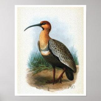 Black-faced Ibis Vintage Illustration Poster