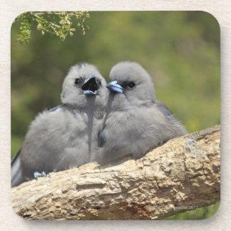 Black Faced Woodswallow, Artamus cinereus Beverage Coaster
