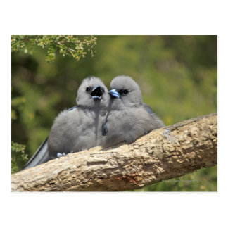 Black Faced Woodswallow, Artamus cinereus, Postcard