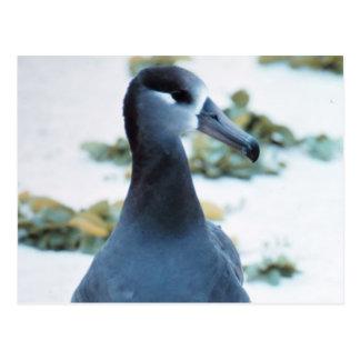 Black footed Albatross Postcard