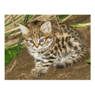 Black footed cat postcard