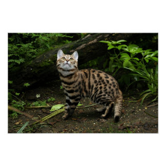 Black footed cat poster
