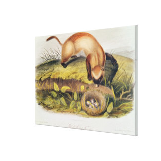Black-footed Ferret Canvas Print