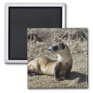 Black-Footed Ferret (captive) 2 Inch Square Magnet