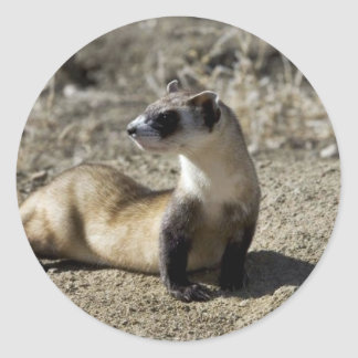 Black-Footed Ferret (captive) Classic Round Sticker