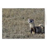 Black-Footed Ferret Cards