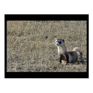 Black-Footed Ferret Postcard