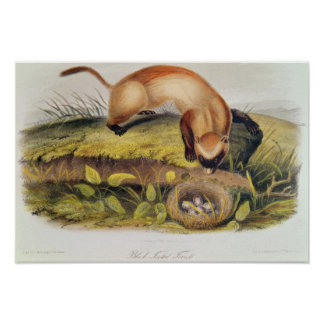 Black-footed Ferret Poster