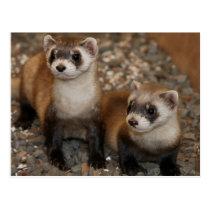 Black-Footed Ferret Wildlife Series # 7 Postcard