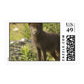 Black Fox Postage Stamp