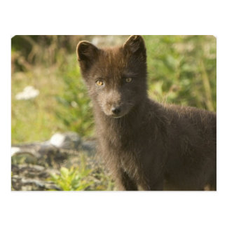 Black Fox Postcard