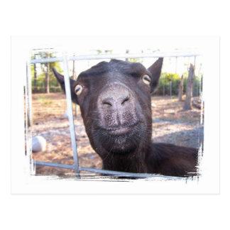 Black goat big yellow eyes nose first view postcard