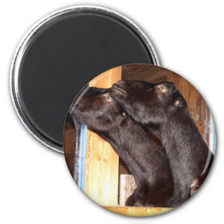 Black goats looking with purpose magnet