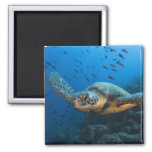 Black (Green) Turtle (Chelonia agassizi) off 2 Inch Square Magnet