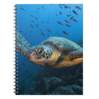 Black (Green) Turtle (Chelonia agassizi) off Notebook