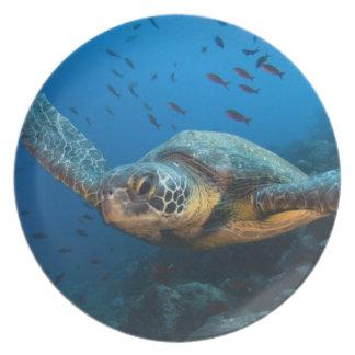Black (Green) Turtle (Chelonia agassizi) off Plate