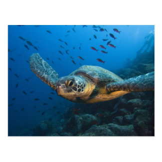 Black (Green) Turtle (Chelonia agassizi) off Postcard