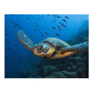 Black (Green) Turtle (Chelonia agassizi) off Postcard