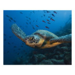 Black (Green) Turtle (Chelonia agassizi) off Posters