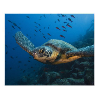 Black (Green) Turtle (Chelonia agassizi) off Poster