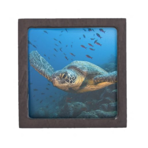 Black (Green) Turtle (Chelonia agassizi) off Premium Trinket Box