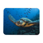Black (Green) Turtle (Chelonia agassizi) off Magnet