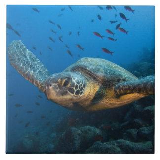 Black (Green) Turtle (Chelonia agassizi) off Large Square Tile