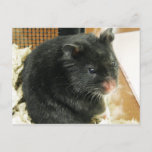 Black Hamster Postcard