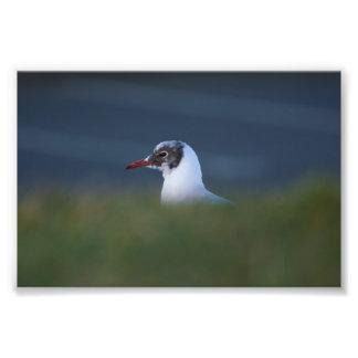 Black-headed Gull Photo Print