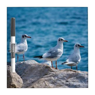 Black-headed gulls, chroicocephalus ridibundus dry erase board